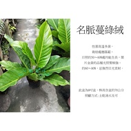 心栽花坊-名脈蔓綠絨/明脈蔓綠蓉/直立蔓綠蓉/綠化植物/室內植物/觀葉植物/售價600特價450