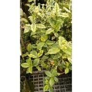 圍籬植物 ** 斑葉玉堂春【梔子花】 ** 6/7吋盆 / 高25-30cm【花花世界玫瑰園】R
