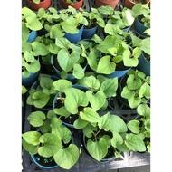 一禪種苗園-是一種略帶魚腥味的草本植物<魚腥草>香草小品盆栽-3吋盆