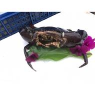 Live seafood Mud Crab (700G - 800G)