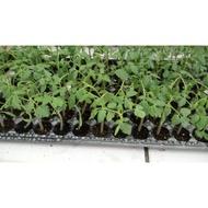 農用711 現貨 玉女番茄 蕃茄 皮薄 又甜 最受歡迎的小番茄苗 玉女苗 玉女 苗
