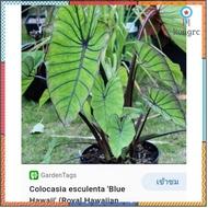 บอนนอก colocasia blue hawaii flashsale ลดกระหน่ำ