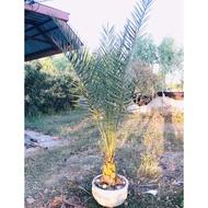 ต้นอินทผาลัม ประดับสวน อายุ4ปี