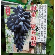 花田厝_水果苗--甜蜜藍寶石葡萄(接木苗),圓柱形--長水滴形/如人的小手指/高40公分/Tm