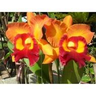 """ต้นกล้วยไม้ แคทลียา (Cattleya)"""" ราชินีแห่งกล้วยไม้ ไม้พร้อมให้ดอก สีส้มปากแดง ดอกใหญ่พิเศษ ดอกหอม ออกดอกตลอด"""