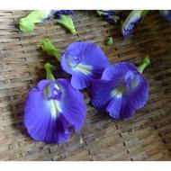 單瓣蝶豆花 種子
