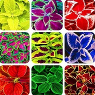 Philippines Ready Stock Coleus Seed 100Pcs Rainbow Coleus Bonsai Flower Seeds Mayana Plants for Sale Live Plants Plants for Sale Real Plants Garden Plant Pots Rare Plants for Sale Easy To Planting In Local