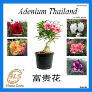REAL LIVE PLANT RANDOM PICK ADENIUM THAILAND 富贵花 BUNGA KEMBOJA WITH PLASTIC POT