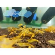 黃金金背米蝦 黃米蝦 金背米蝦 觀賞蝦 活餌 金條蝦