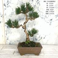 {英宏}-小品盆栽-日本壽松(日本短葉黑松)