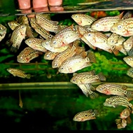Louhan Kamfa Ori F2 Fish