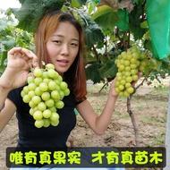 anak pokok buah anak pokok anggur pokok hidup anak pokok Pokok Buah Benih Anggur Sapphire Ditanam di Tapak Pot di Utara