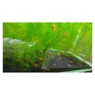 【麥克龍水族工作室】CPO侏儒橘螯蝦 活餌 最低$30起