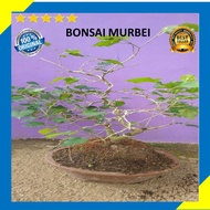 Murbei Tree Bonsai