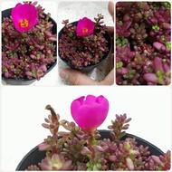 แพรทับทิม หรือ คุณนายญี่ปุ่น ต้นไม้จิ๋ว ไม้อวบน้ำจิ๋ว ขนาดเล็กมินิดอกสีแดงและสีชมพูแซม ออกดอกง่าย สามารถออกได้ทุกวัน