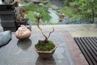 黑松(輕鬆盆栽)26*12*12公分 植物 盆栽 綠屋園藝