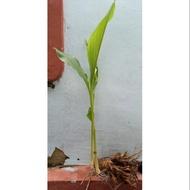 Pokok Temulawak sepokok Zingiberaceae