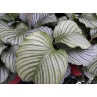 花田厝_觀葉植物--青蘋果竹芋,竹芋科--葉質豐腴/6吋盆苗/高20~30公分/Tm