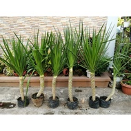 Yucca Plants Potted Big sized