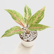 """RARE Aglaonema """"Pink Suzy"""" Pink Chinese Evergreen Live Plant with White Pot and Soil + Pebbles Indoor and Outdoor plant Air purifying agent average height Healthy and Live Potted Plant + Soil enhancements ---Talipapa"""