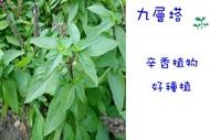九層塔 蘿勒 香草類植物  種苗