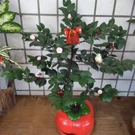 室內組合 精緻盆栽 招財樹 圓葉竹柏 送禮盆栽