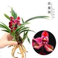 Special clearance orchid seedlings Luzhou-flavor orchids are easy to raise and live. Indoor bonsai potted plants with br