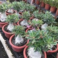 沙漠玫瑰 重瓣品種 嫁接1尺2吋爆盆 (流金歲月)