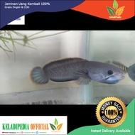 Ikan Hias Chana limbata/Bogo Rawa 15cm-18cm aquarium aquascape