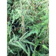 一禪種苗園-樹形優美++落羽松苗++喬木-2.5吋盆