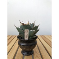 """Agave Titanota """"Tower of Babel"""" 