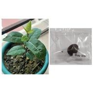 Garden seeds bay leaf seeds laurel plant bayleaf