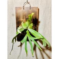 十二田植栽 鹿角蕨 P. willinckii 'Bogor' 8 ''  爪哇波哥 8吋