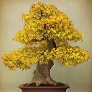 FH 20pcs Bonsai Maple Tree Seeds Bonsai Tree Seeds