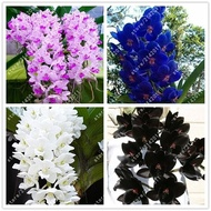 100pcs/bag cymbidium orchid rare orchid seeds bonsai flower seeds(orchid seed white)