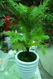 花花世界_蕨類植物--美人蕨--**富貴蕨**/5/6吋/桿高5-10CM/ TC