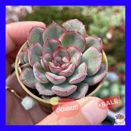 SALE !!ราคาพิเศษ ## Echeveria Orion ไม้อวบน้ำ กุหลาบหิน Cactus&Succulent หลากหลายสายพันธุ์ ##เมล็ดพรรณและต้นไม้seed tree