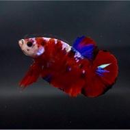Harga Ikan Cupang Koi Dan Promo Terbaru September 2020 Biggo Situs Perbandingan Harga