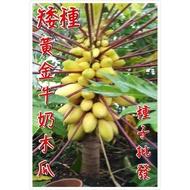 批發價 矮種黃金牛奶木瓜 種子 100粒