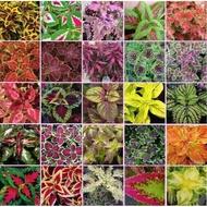 ♞✉B1 Mayana Coleus Seeds Rare from thainland / Hybrid /Bonsai Giant 200+ Varieties