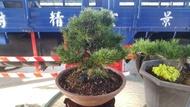 樹精靈景觀造園【日本進口千壽丸黑松】塑型盆栽紫砂盆