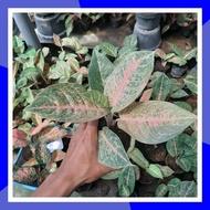 Aglonema harlequin-tanaman hias aglinema berkualitas paling laris&murah