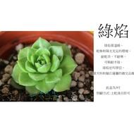 心栽花坊-綠焰/3吋/多肉植物/售價40特價35