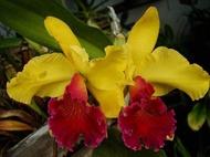 กล้วยไม้แคทลียาสีเหลืองปากแดง Orchids Cattleya กล้วยไม้ที่ให้ดอกสีสวยงามที่สุด  และมีดอกขนาดใหญ่มาก นิยมปลูกเลี้ยง และรู้จักกันมากที่สุดทั้งในประเทศ และในต่างประเทศ