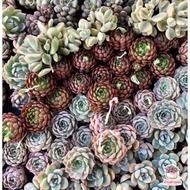 รวมไม้อวบน้ำ กุหลาบหิน cactus&succulentหลากหลายสายพันธุ์