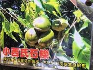 ╭*田尾玫瑰園*╯新品種樹種-(小西氏石櫟)高60cm700元