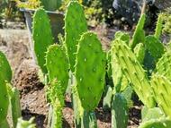 โอพันเทียเสมา ใบเสมา ตัดสด แคคตัส กระบองเพชร ไม้อวบน้ำ cactus ราคาถูก เสมา ไม้กราฟ ตอกราฟ ตอเสมา ตลาดตอ