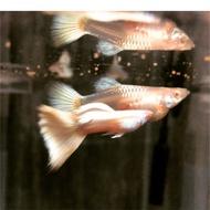 Guppy platinum TUXEDO 孔雀魚 白金禮服白子 ;飼料/魚餌