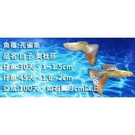 蝦米龍馬丸 蛇魔女白子 花鱂科  孔雀魚  餌