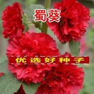種子觀花種子一丈紅熟季花戎葵蜀葵吳葵胡葵種子蜀葵種子